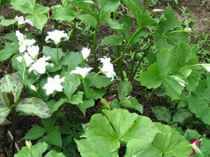 Растения для тени или Тенистый сад. 0_b1dd3_592e2e34_M