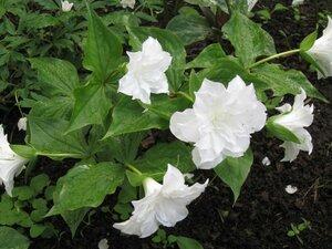 Растения для тени или Тенистый сад. 0_b1da7_efebd473_M