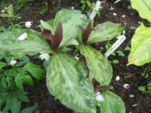 Растения для тени или Тенистый сад. 0_b1db1_98d467c6_M