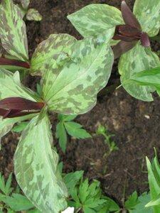 Растения для тени или Тенистый сад. 0_b1da5_7bceffe3_M