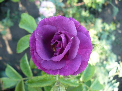 Розы от Naka-Noka 0_65eae_be3540f_L