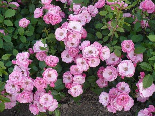 Розы от Naka-Noka 0_65404_577c7a47_L