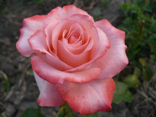 Розы от Naka-Noka 0_65415_720fa833_L
