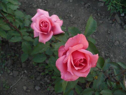 Розы от Naka-Noka 0_6540e_e774fee8_L