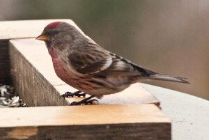 Зимние птицы. 0_663ad_7a1bd1ec_M