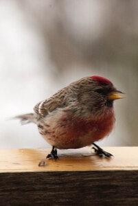 Зимние птицы. 0_663a9_5ee2ce73_M