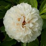 Календарь цветения пионов 2012г 0_6ff40_c0309c36_S