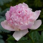 Календарь цветения пионов 2012г 0_6ff75_21f0fa0e_S