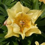 Календарь цветения пионов 2012г 0_6ffaa_5b6ed1fd_S