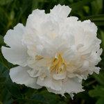 Календарь цветения пионов 2012г 0_6ffdb_21afa961_S