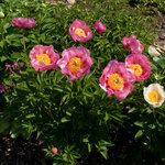 Календарь цветения пионов 2012г 0_6ff43_dfd25626_S