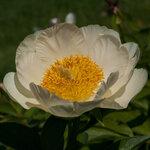 Календарь цветения пионов 2012г 0_6ff5f_5b5f2589_S