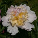 Календарь цветения пионов 2012г 0_6ffb7_dea81a3c_S