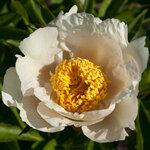 Календарь цветения пионов 2012г 0_6ff3d_6dd1b5fb_S