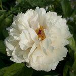 Календарь цветения пионов 2012г 0_6ff41_df498524_S