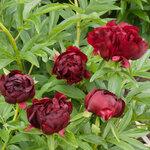 Календарь цветения пионов 2012г 0_6ff5c_aa7821d7_S