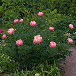 Календарь цветения пионов 2012г 0_6ff76_3f731dc3_S