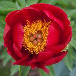 Календарь цветения пионов 2012г 0_6ff84_606353e8_S