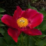 Календарь цветения пионов 2012г 0_6ff67_6e88b32f_S