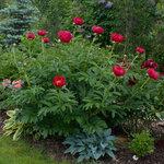 Календарь цветения пионов 2012г 0_6ff82_75ebcf07_S