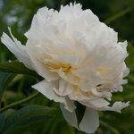 Календарь цветения пионов 2012г 0_6ffda_82145f67_S