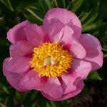 Календарь цветения пионов 2012г 0_6ff45_fafd6d96_S