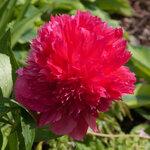 Календарь цветения пионов 2012г 0_6ff86_808e652c_S