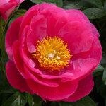 Календарь цветения пионов 2012г 0_6ff94_37bd2a70_S