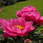 Календарь цветения пионов 2012г 0_6ff95_51c7d4bc_S
