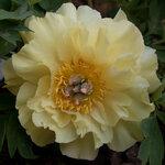 Календарь цветения пионов 2012г 0_6ff97_b90f63bf_S