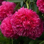 Календарь цветения пионов 2012г 0_6ff9e_327bd080_S