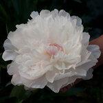 Календарь цветения пионов 2012г 0_6ffd7_20a2a591_S