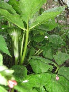 Растения для тени или Тенистый сад. 0_b1e2a_b5f12794_M