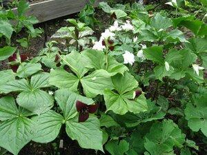Растения для тени или Тенистый сад. 0_b1dcc_fb36c8b2_M