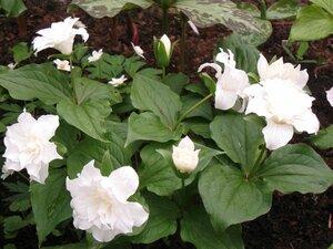 Растения для тени или Тенистый сад. 0_b1dce_9fe5d846_M