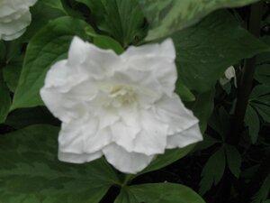 Растения для тени или Тенистый сад. 0_b1d8f_352379af_M