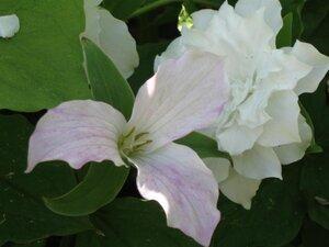 Растения для тени или Тенистый сад. 0_b1d94_ce2c8ad3_M