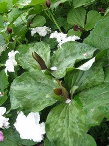 Растения для тени или Тенистый сад. 0_b1d98_4da5013_M