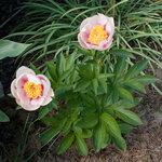 Календарь цветения пионов 2012г 0_6ff50_29f9fe6d_S