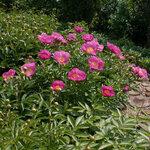 Календарь цветения пионов 2012г 0_6ff55_a7befce8_S