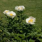 Календарь цветения пионов 2012г 0_6ff60_8071c8e7_S