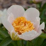 Календарь цветения пионов 2012г 0_6ff63_a1a1645a_S