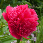 Календарь цветения пионов 2012г 0_6ff88_caaa11a6_S