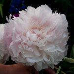 Календарь цветения пионов 2012г 0_6ffd1_1531ec89_S