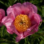 Календарь цветения пионов 2012г 0_6ff44_b15c75f7_S