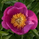 Календарь цветения пионов 2012г 0_6ff53_110cb715_S