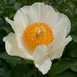 Календарь цветения пионов 2012г 0_6ff61_36daae2e_S