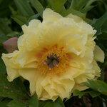Календарь цветения пионов 2012г 0_6ff96_b0ce8851_S