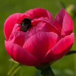 Календарь цветения пионов 2012г 0_6ff9b_333da62f_S