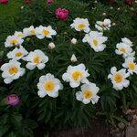 Календарь цветения пионов 2012г 0_6ffc1_93a6c04d_S